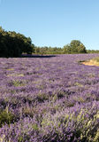 Lavender field near Sault in Provence, Stock Photos