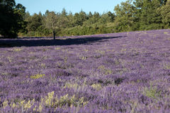 Lavender field near Sault in Provence, Royalty Free Stock Images