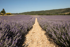 Lavender field near Sault in Provence, Stock Photo