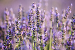 Lavender field near small town Apt, Provence, france Stock Photography