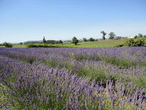 Lavender  Field at New Zealand 4 Stock Images