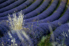 Lavender Field Nr Sault, The Vaucluse, Provence, France Royalty Free Stock Photo