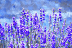 Lavender field. Oil painting Royalty Free Stock Image