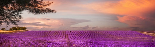 Lavender Field. Panoramic of a lavender field at dusk Royalty Free Stock Photography