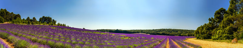 Lavender field panoramic view in Provence, France Stock Photography