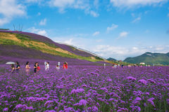 Lavender Field Park Stock Photo