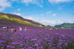 Lavender Field Park Stock Photo