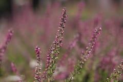 Flowering lavender field, beautiful landscape stock photography