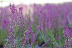 Flowering lavender field, beautiful landscape stock image