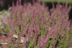 Flowering lavender field, beautiful landscape royalty free stock photography