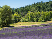 Lavender Field. Lavender plants in bloom in a field at a farm in rural Applegate Valley in Oregon Stock Photo