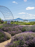 Lavender Field. Lavender plants in bloom in a field at a farm in rural Applegate Valley in Oregon Royalty Free Stock Photo