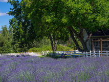 Lavender Field. Lavender plants in bloom in a field at a farm in rural Applegate Valley in Oregon Stock Photography