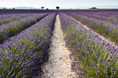 Lavender field Royalty Free Stock Photography