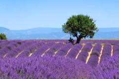 Lavender field. The plateau of Valensole in Provence Royalty Free Stock Photography