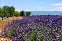 Lavender field. The plateau of Valensole in Provence Royalty Free Stock Photos