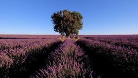 Lavender field in plateau Valensole stock video footage