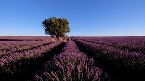 Lavender field in plateau Valensole stock footage