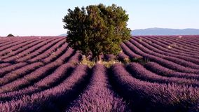 Lavender field in plateau Valensole stock video