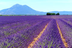 Lavender field in plateau Valensole Stock Photo