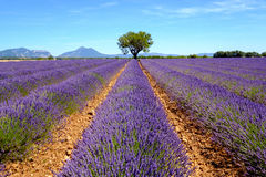 Lavender field in plateau Valensole Stock Photos