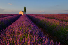 Lavender field in plateau Valensole Royalty Free Stock Photo