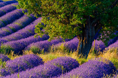 Lavender field in plateau Valensole Royalty Free Stock Photos