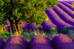 Lavender field in plateau Valensole Royalty Free Stock Photography