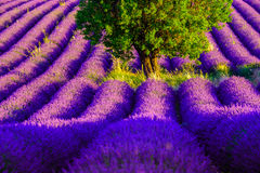 Lavender field in plateau Valensole Stock Images