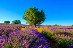 Lavender field in plateau Valensole Stock Image