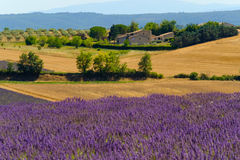 Lavender field in plateau Valensole Stock Photography