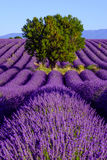 Lavender field in plateau Valensole Royalty Free Stock Images