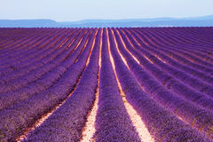 Lavender field at the plateau of Valensole in Provence, France Stock Photos
