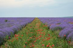 Lavender field with poppy flowers, beautiful summer landscape Royalty Free Stock Photography