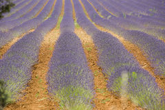 Lavender field, Provance, France Royalty Free Stock Image