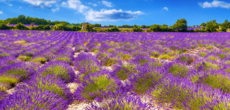 Lavender field in Provance. View of a lavender field in the Provance region of France before the harvest Royalty Free Stock Photo