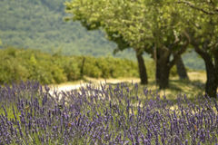 Lavender field , Provence Stock Photography