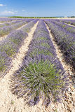 Lavender field, Provence Royalty Free Stock Photos