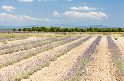 Lavender field, Provence Stock Image