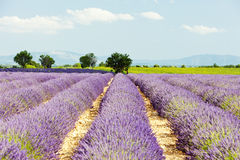 Lavender field, Provence Stock Photos