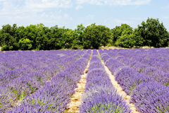 Lavender field, Provence Royalty Free Stock Photography