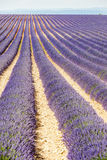 Lavender field, Provence Stock Photo