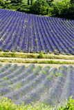 Lavender field, Provence Stock Images