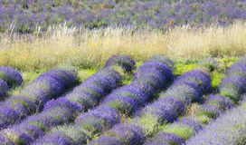Lavender field in Provence. Stock Photography