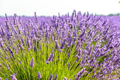 Lavender field, Provence. Lavender flower field around Valensole Plateau, Provence Royalty Free Stock Photos