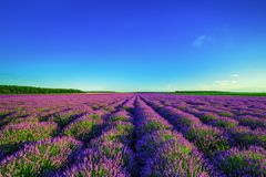 Lavender field in Provence royalty free stock photo