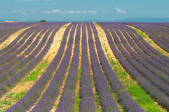 Lavender field, Provence, France Stock Photography