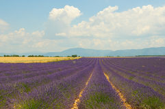 Lavender field, Provence, France Stock Photos