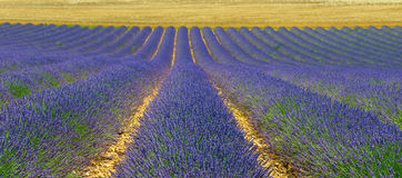 Lavender field, Provence, France Royalty Free Stock Images