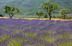 Lavender field in Provence, France. Beautiful lavender field in the region of Provence, southern France stock photos